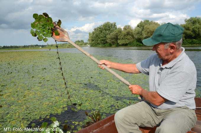 Kísérleti sulyomgyérítést végeztek a Tisza-tavon