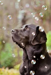 Vizsgálati helyzetben a kutyák rendkívül készségesek, láthatóan örülnek, hogy ott lehetnek, más fajokhoz képest ezért könnyebb nagy egyedszámban is tanulmányozni őket.