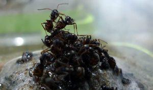Tutajjá alakulva védik egymást és királynőjüket az árvíztől a hangyák
