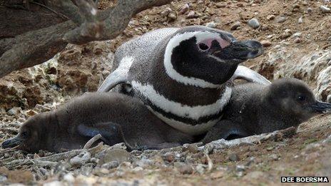 A klímaváltozás megöli az Argentínában élő Magellán-pingvinek fiókáit