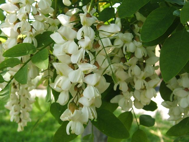 Fehér akác - Magyarországon szigorú szabályok vonatkoznak, egyes területeken a termesztése támogatott, máshol pedig az irtása