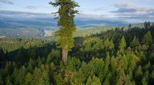 Az erdei fenyők illata enyhítheti a klímaváltozás hatásait