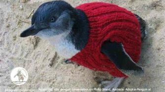 Pulóveres pingvinek - Apró pulóverek segítenek olajtól maszatos pingvineken. Kötésére buzdítja a világot egy természetvédő szervezet.