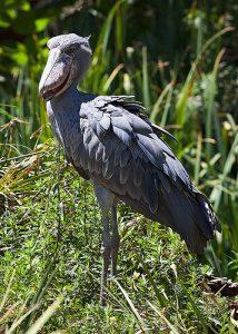 A Londoni Zoológiai Társaság és a Yale Egyetem szakemberei összeállították a kihalás által leginkább fenyegetett ritka madarak százas listáját.