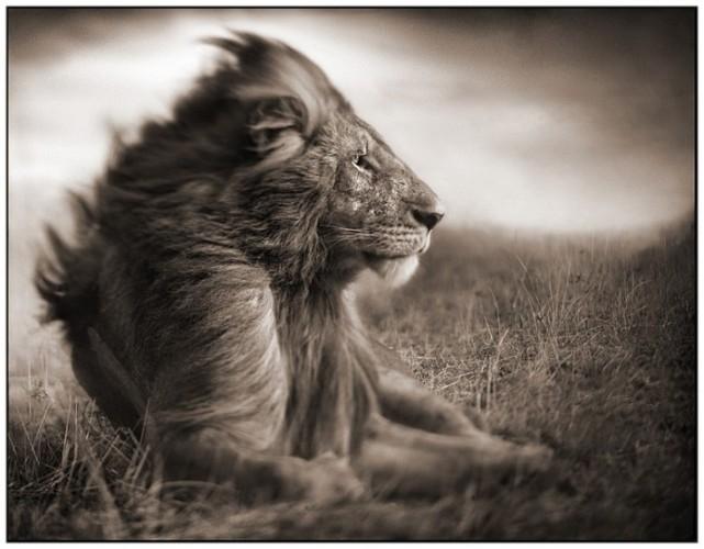 Francis Tapon - oroszlán - DNS-vizsgálattal derítették ki a mai oroszlánok eredetét
