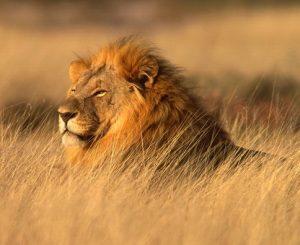 DNS-vizsgálattal derítették ki a mai oroszlánok eredetét