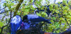 Dolmányos varjú - varjakat figyelhetünk az interneten
