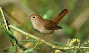 A csalogány hangterjedelme sokkal nagyobb, mint bármely más énekes madáré, ez pedig agyának szerkezetével függ össze - állapították meg brit biológusok.