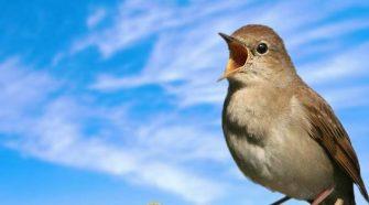 A csalogány hangterjedelme sokkal nagyobb, mint bármely más énekes madáré