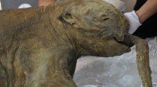Ljuba a mamutbébi