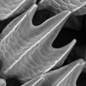 """Háromdimenziós nyomtatóval készült modellen mutatták be tudósok, hogy milyen hatékonyan segítit a """"fogazatszerű"""" bőrlapocskák borította cápabőr a ragadozó úszását."""