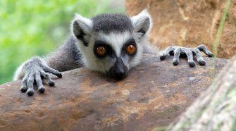 Természetvédelmi Világszövetség - új vörös lista - Lemur catta