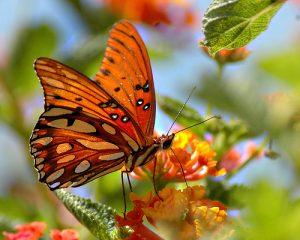 Tudományos tény a pillangókról