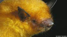 Új denevérfajt azonosítottak bolíviai aranydenevér néven
