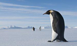 Két méter magas volt az antarktiszi óriáspingvin Photograph: Tui De Roy/Corbis