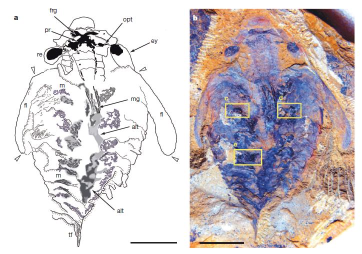 520 millió éves tengeri ragadozó - TUDOMÁNYPLÁZA