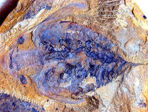 520 millió éves tengeri ragadozó