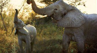 Az elefántok szaglóképessége jobb, mint a miénk?