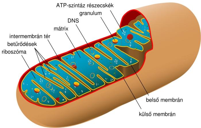A mitokondriumokat gyakran a sejtek erőműveiként is emlegetik