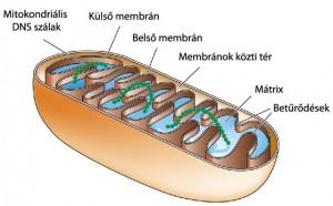Mitokondriumok szerepe a betegségekben