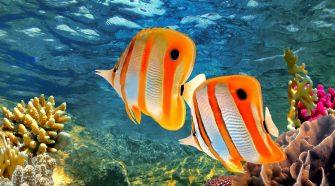 A maihoz hasonló környezeti tényezők lassították le a Nagy-korallzátony (Földünk legnagyobb korallzátonya) növekedését 8000 éve.