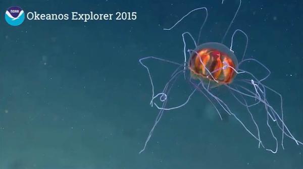 Különleges mélytengeri élőlények - Trachymedusae medúza