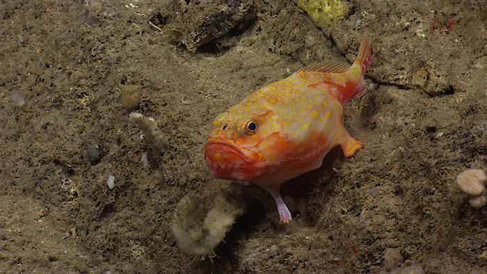 Különleges mélytengeri élőlények - tengeri varangy vagy más néven Chaunax