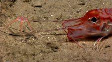 Különleges mélytengeri élőlények - brittle tengeri csillag