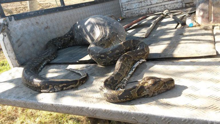Nagy kígyó, nagy étvágy