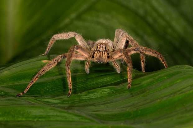 Halálos pókok - brazil vándorpók