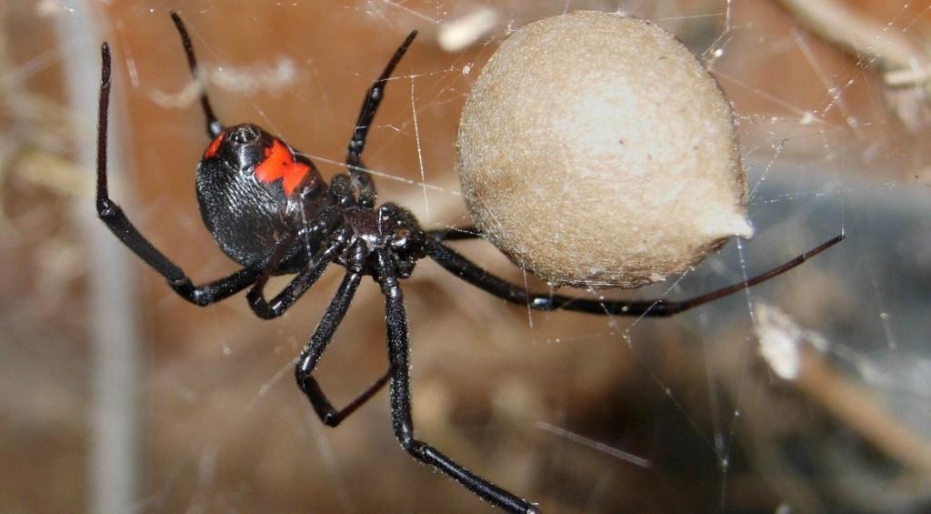 Halálos pókok - fekete özvegy