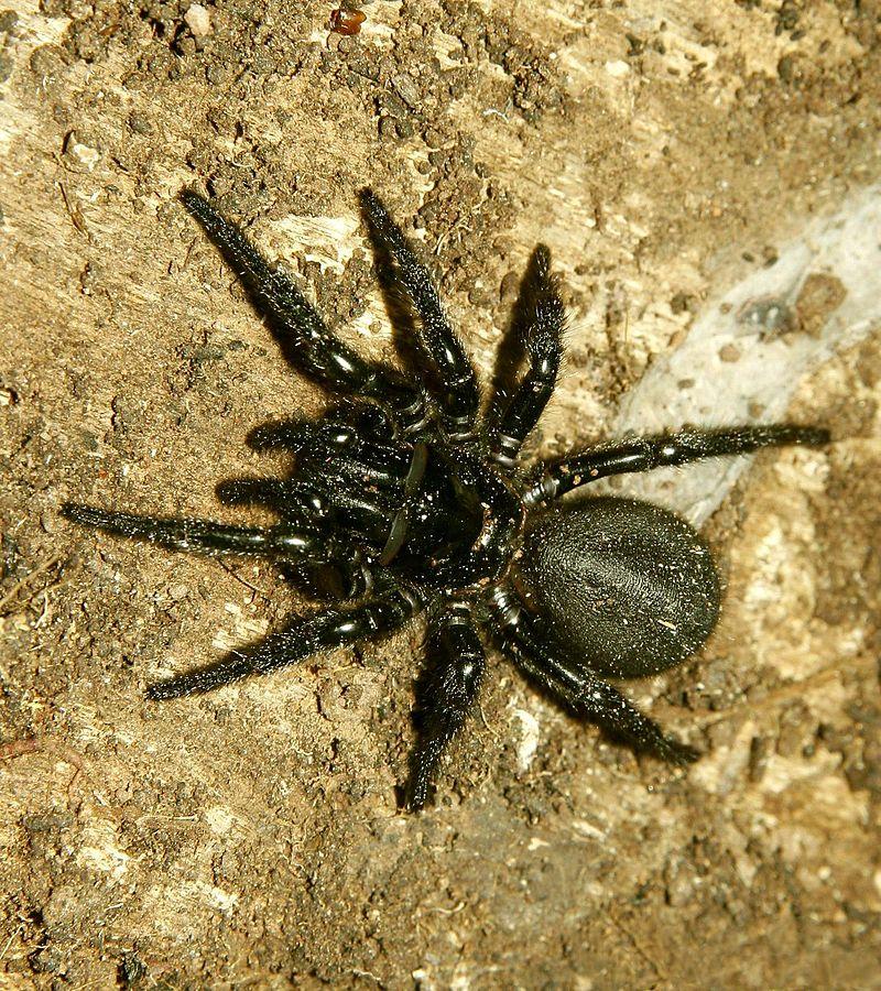 Halálos pókok - tölcsérhálós pók