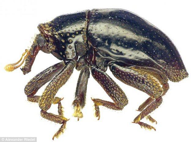 Újonnan felfedezett bogár - Csubakka a neve
