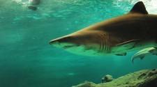 A világ legnagyobb cápaszámlálása