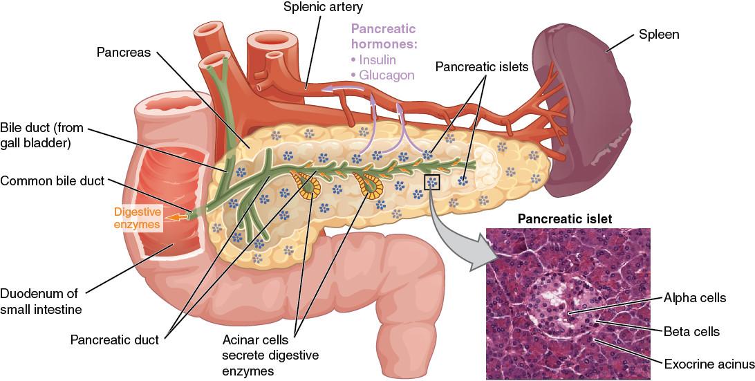 Cukorbetegség: oka a hibásan működő bétasejt-csomópont