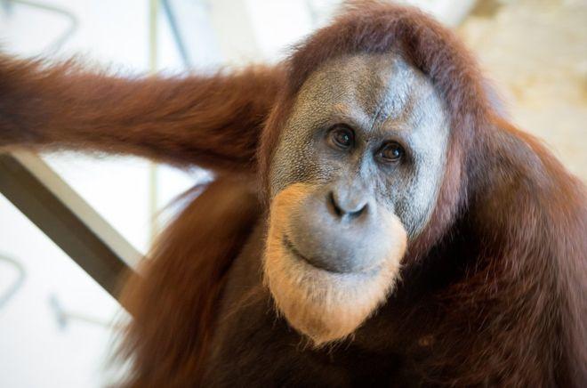 Egy orangután utánozza az emberi beszédet