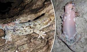 Új gekkófaj – védekezéskor megválik pikkelyeitől