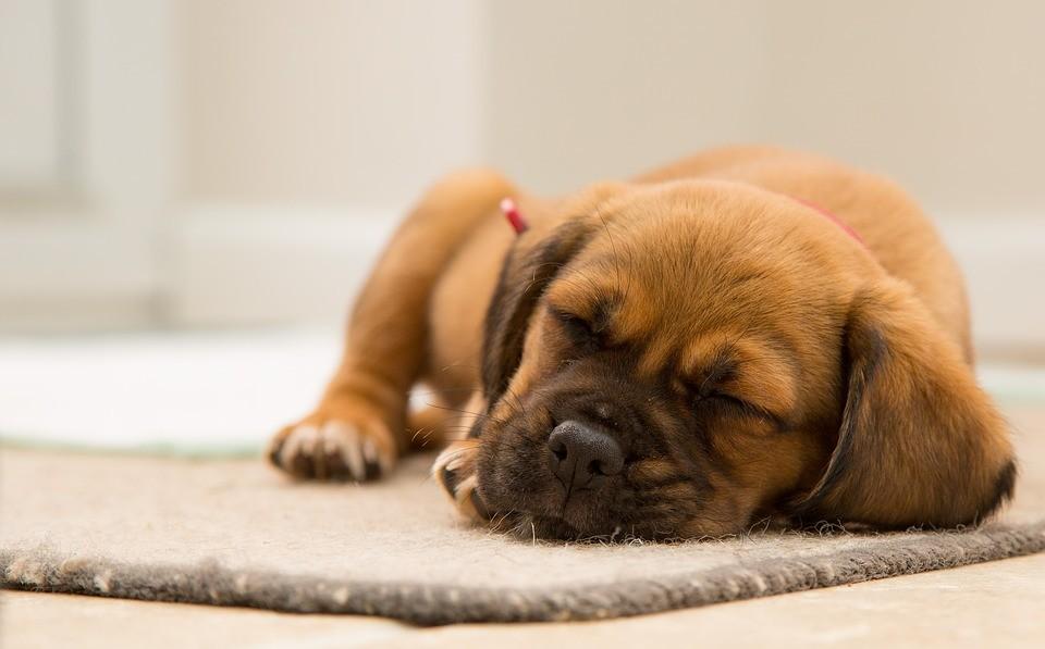 A világon először mutatták ki, hogy a tanulás jelentősen befolyásolja az azt követő alvás alatt a kutyák agytevékenységét.
