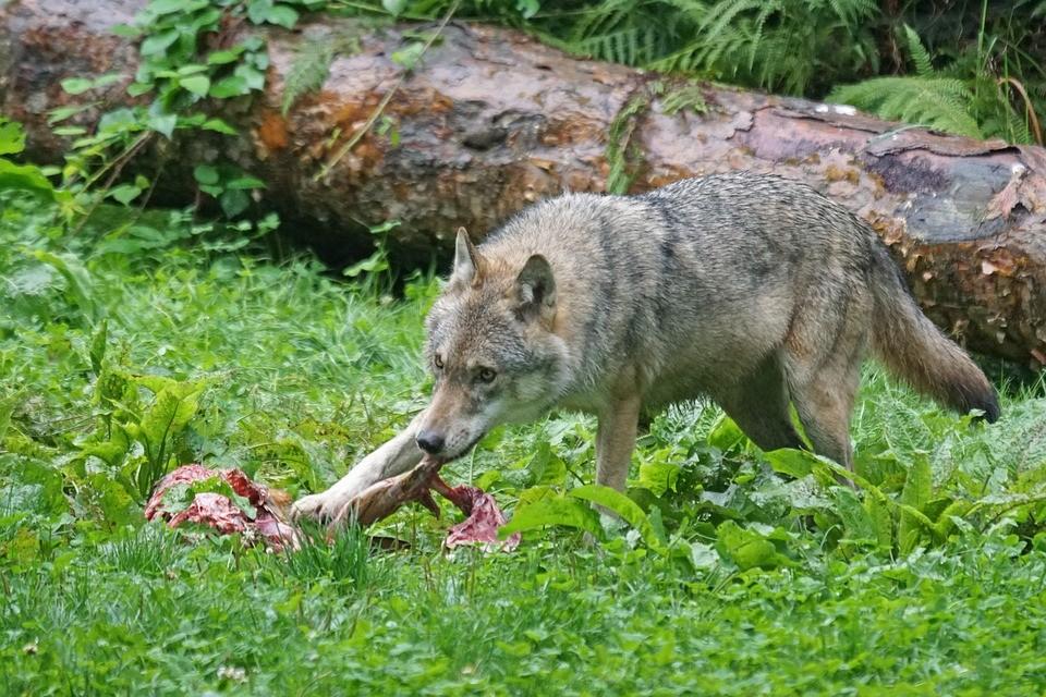 A farkasok potyautasai