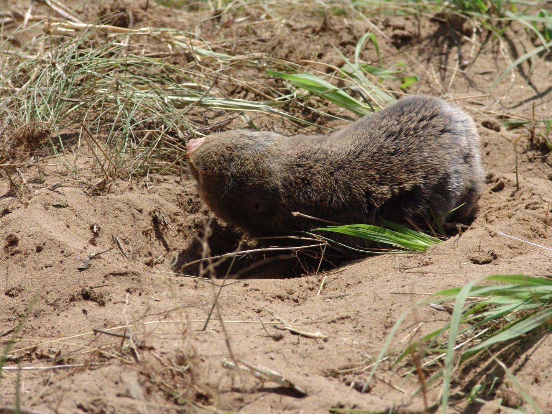 A bajai földikutya-rezervátum már természetvédelmi terület