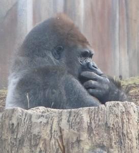 A veszélyeztetett állatok közé sorolható a gorilla is.