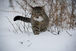 Macska evolúció és térhódítás - TUDOMÁNYPLÁZA