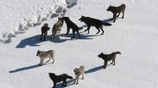 Egyetlen farkaspopulációtól származnak a mai kutyafajták?