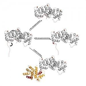 A fehérjeműködés szabályozásának szerkezeti háttere