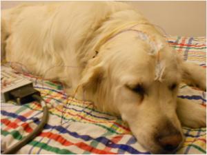 Egy új magyar tanulmány azonban feltárta, hogy a kutyák alvási orsói sokkal hasonlóbbak az emberéhez, mint azt korábban feltételezték.