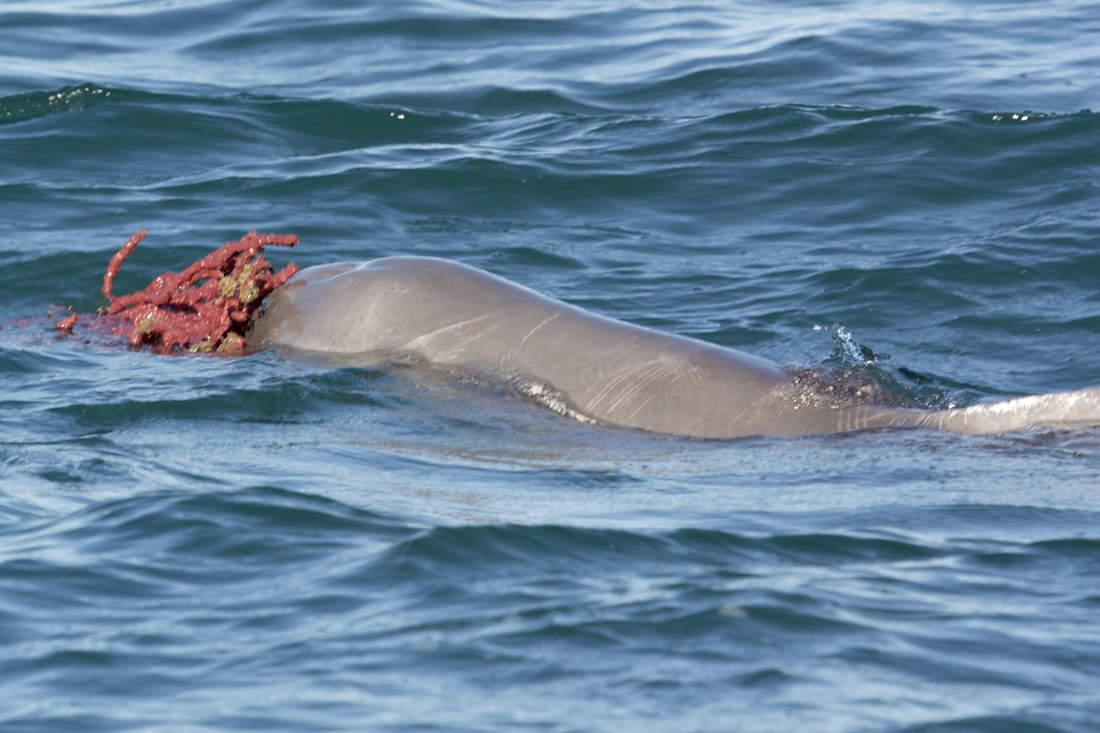 Nagy tengeri szivacsokkal próbálják elcsábítani a nőstényeket a hím púposhátú delfinek egy nemzetközi kutatócsoport megfigyelése