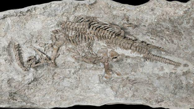 Triász kori plezioszaurusz maradványok -
