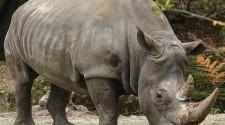 Megfejtették a szumátrai orrszarvú genomját