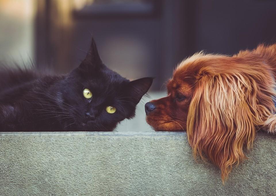 A kutyák okosabbak a macskáknál?