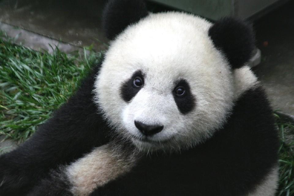 Óriás panda - Hitek és tévhitek - TUDOMÁNYPLÁZA